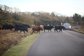 Cattle crossing road 3