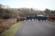 Cattle crossing road 5