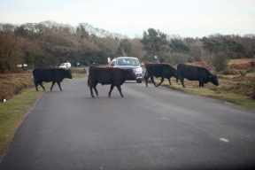 Cattle crossing road 6