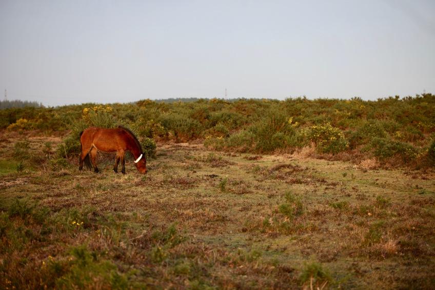 Pony on moor 1