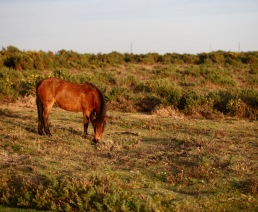 Pony on moor 2