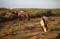 Ponies on moor 3