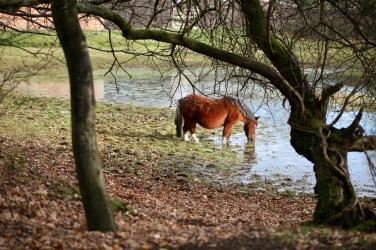 Pony drinking 1