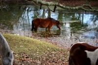 Pony drinking 2
