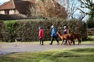 Alpaca walkers 2