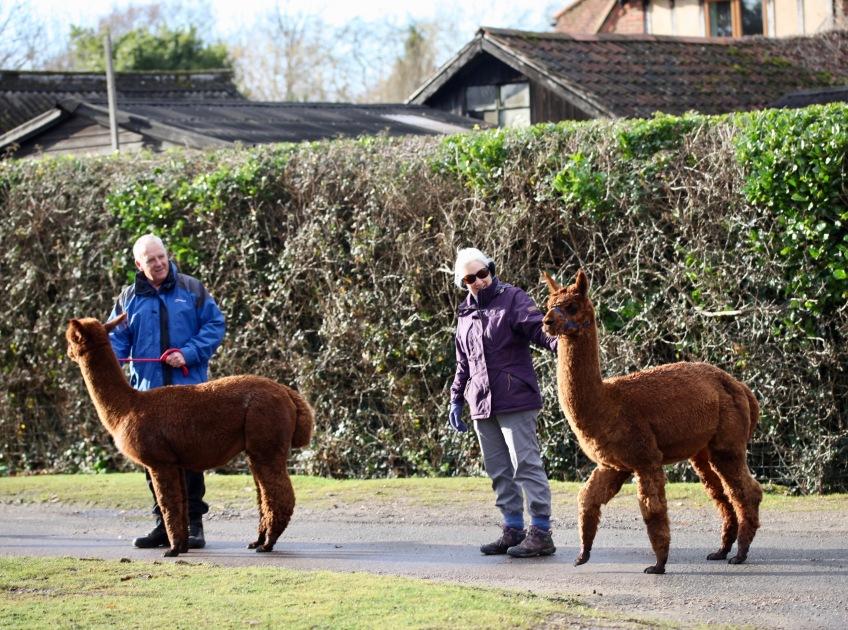 Alpaca walkers 3