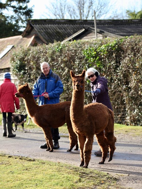 Alpaca walkers 4
