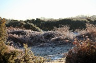Frost on ferns 1