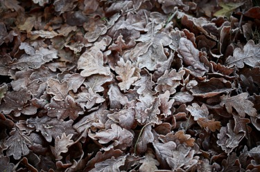 Frost on oak leaves