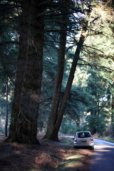 Giant redwoods 1