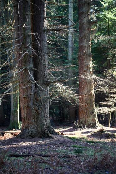 Giant redwoods 2
