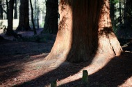 Shadows and sequoia 1