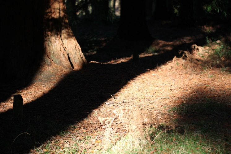 Shadows and sequoias 2