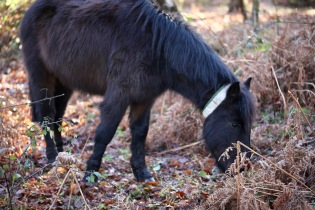 Pony in bracken 2