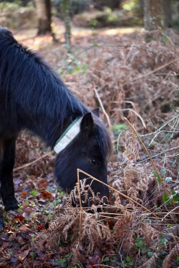 Pony in bracken 3