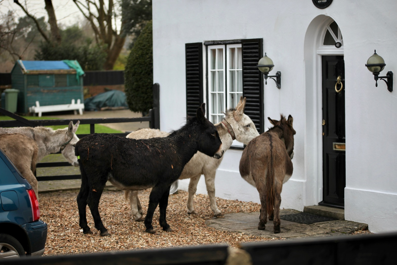 Donkeys queuing for food 1