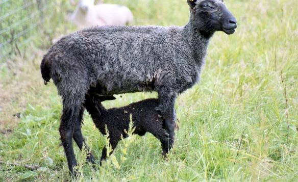 Suckling goat 7.03