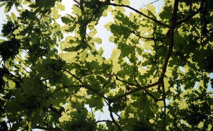 Oak leaves 7.03
