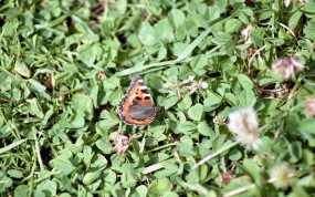 Red Admiral butterfly 7.03