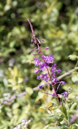 Willowherb 7.03