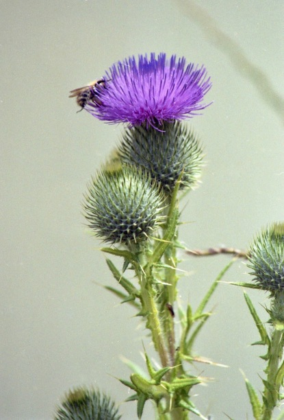 Wasp on thistle 7.03