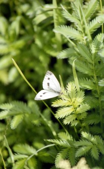 Butterfly white 7.03
