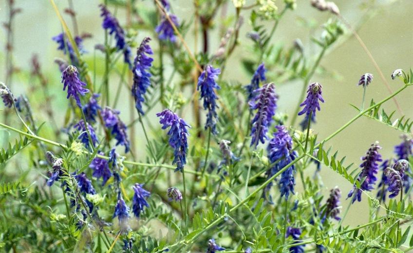 Blue flowers 7.03