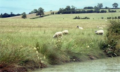Sheep in landscape 7.03
