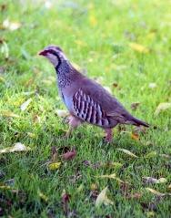 Red-legged partridge 1 7.03