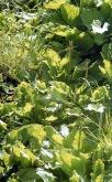 Plantains 2 7.03