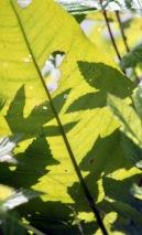 Leaf backlit 1 7.03