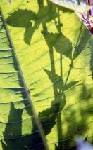 Leaf backlit 3 7.03