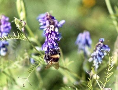 Bee on blue flower 7.03