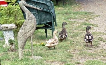 Stone stork and live mallards 7.03