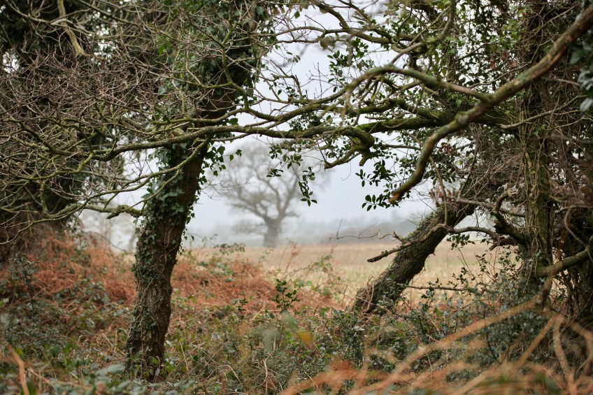 Misty field through hedge
