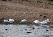 Swans 2