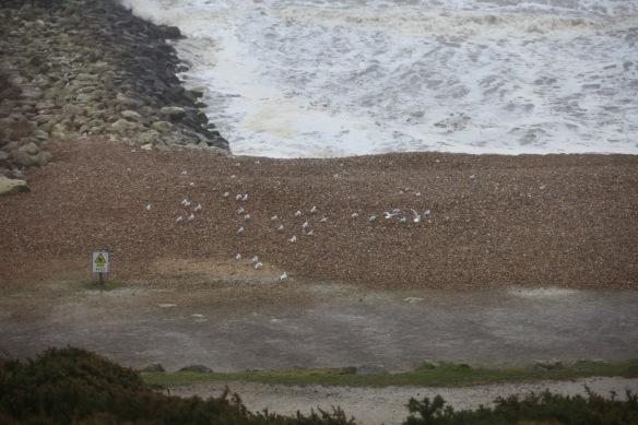 Gulls on shingle