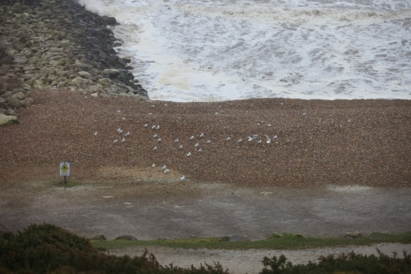 Gulls on shingle