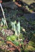 Tulip spears