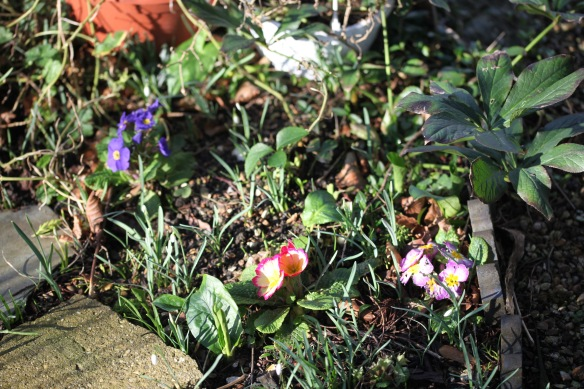 Primulas and snowdrops