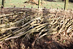 Hedge laying 1