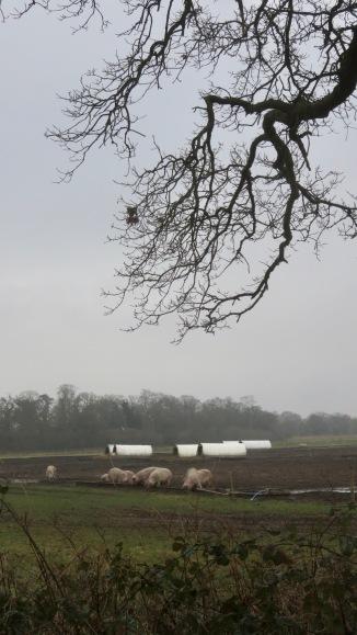 Pig farm 3