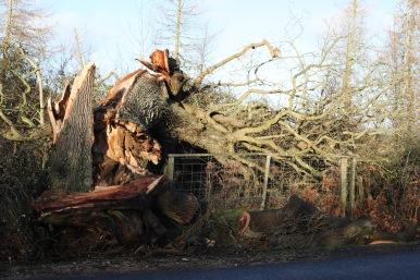Fallen tree 1