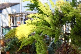 Broken cypress 1