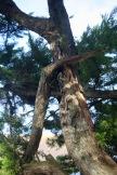 Broken cypress 5