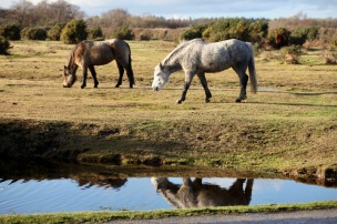 Ponies and reflection