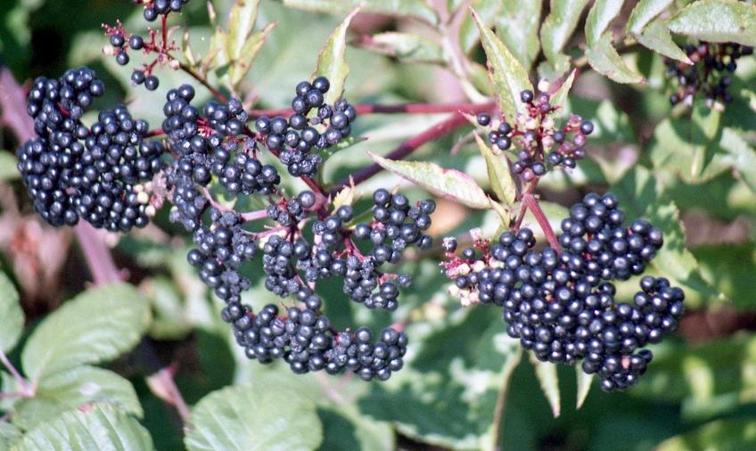 Berries 9.03