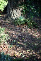 Bulb spears at foot of tree