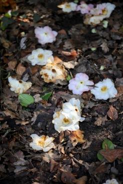 Magnolia blooms on path
