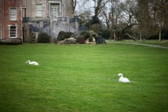 Swans on lawn 2